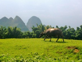 Scenes of water buffalo grazing along the Li River in Yangshuo, China