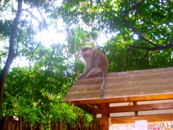 Wild monkeys around Railay beach in Southern Thailand