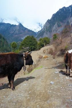 Yaks strolling around upper Yubeng in China's Yunnan province