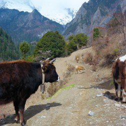 Yaks strolling around upper Yubeng in China's Yunnan province
