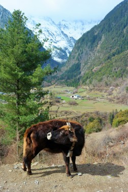 A yak strolling around upper Yubeng in China's Yunnan province