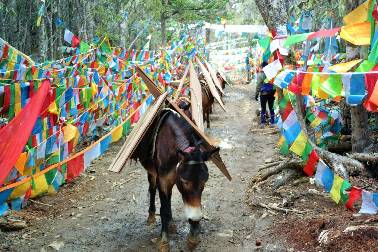 Horses on the Xi Dang trail along the way to Yubeng with Tibetan prayer flags in the background